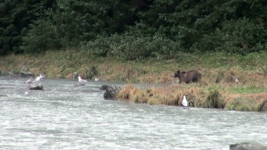 alasca : Brown Bear Fishing In Rainy Day - Animals In The Wild - Alaska - High Definition Video Vídeos