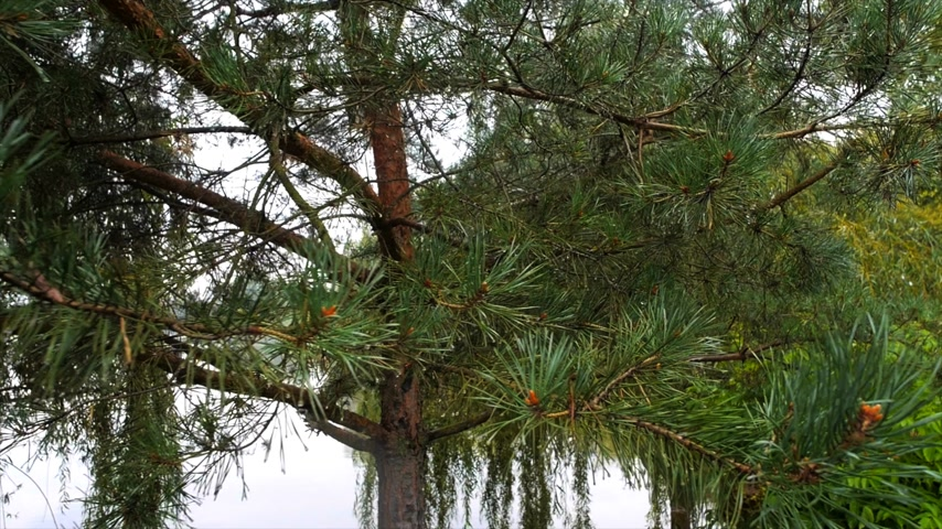 jasně : Pine on the background of the lake in the rain panorama