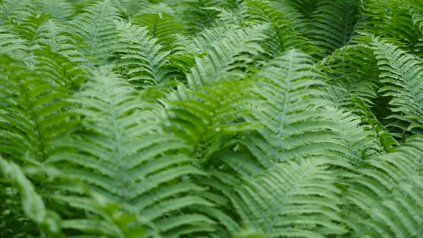 kapradina : Beautyful ferns leaves green foliage natural floral fern background