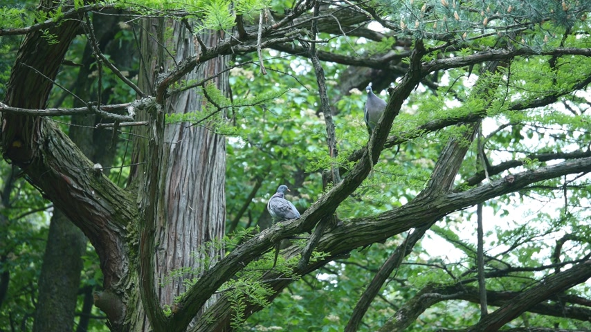collared : gray dove sitting on a tree branch Stock Footage