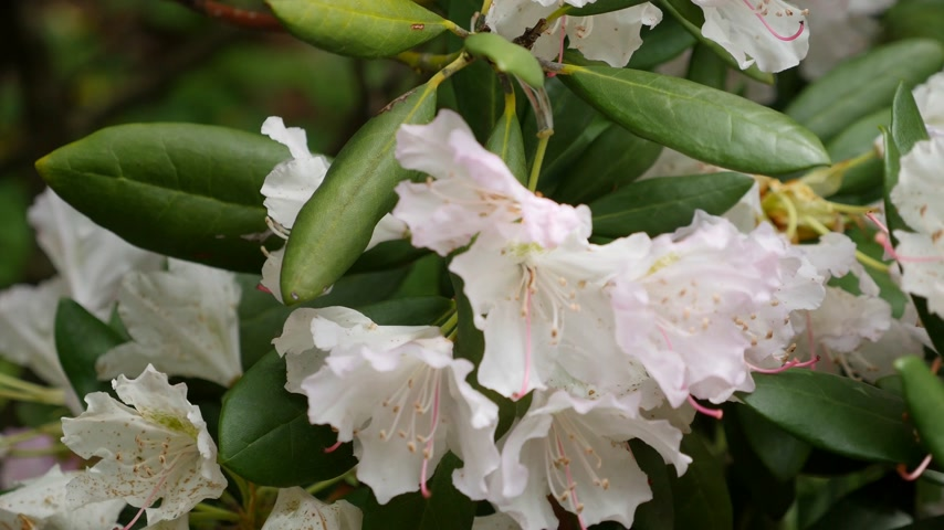 rhododendron : white purple flowers of a Rhododendron inflorescence Rhododendron roseum elegans