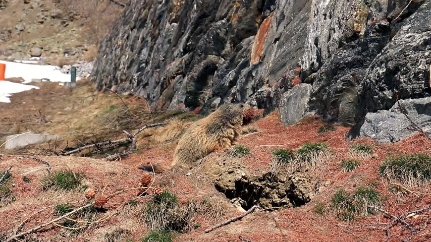 ücret : Curious alpine Marmot (Marmota marmota) walking towards camera with mouth suffed full of brown pine needles. Stok Video