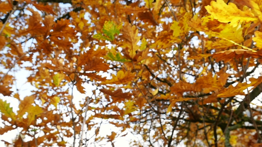 meşe palamudu : Oak leaves with sun beaming through rich vivid leaves - shot in slow motion