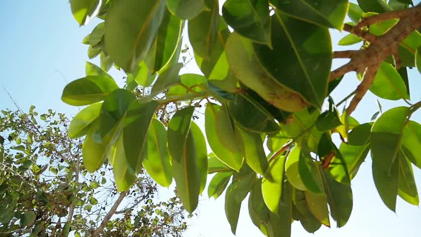 angiospermas : Ficus tree with sun flare in slow motion on a clear summer day Stock Footage