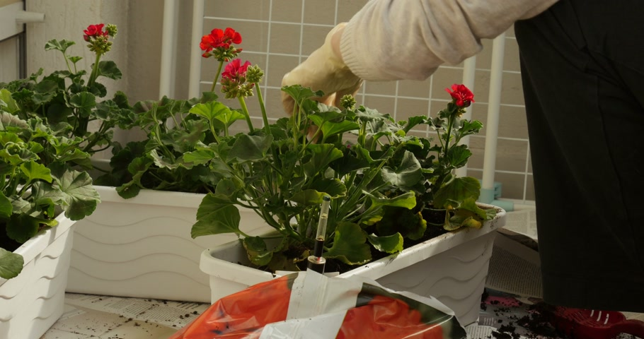 герань : Woman planting potting flowers on balcony, cutting leafs of the beautiful geranium flowers