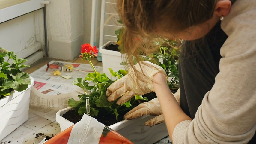 герань : Woman planting on balcony beautiful green geranium on a balcony on a warm sunny day - shot in slow-motion