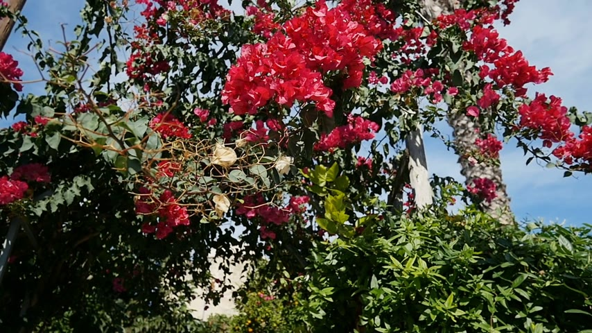 rampant : Beautiful heaven garden with Rampant Bougainvillea flower in Beautiful Mediterranean garden - slow motion pan. It is also named as Paper Flower