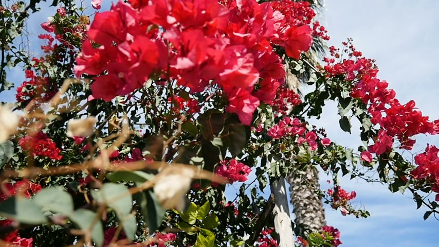 rampant : Rampant Bougainvillea flower in Beautiful Mediterranean garden - slow motion pan. It is also named as Paper Flower