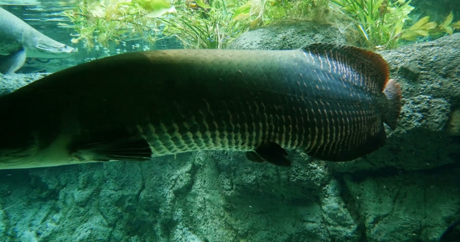 torpedo : Fastmotion timelapse tl Arapaima, pirarucu, or paiche underwater - large species of bonytongue in the genus Arapaima native to the Amazon and Essequibo basins of South America. Genus Arapaima is the type genus of the family Arapaimidae. They are among th