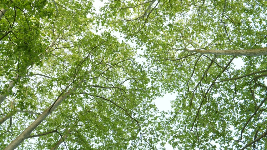 marquee : Platanus tree canopy motion slow motion in 4k uhd view from below slow motion