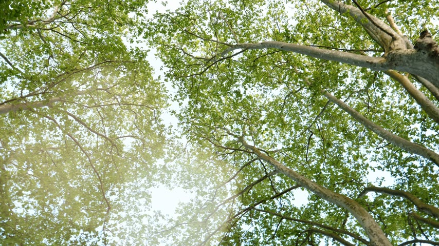 markiza : Platanus tree canopy motion slow motion in 4k uhd view from below with beautiful sun flare