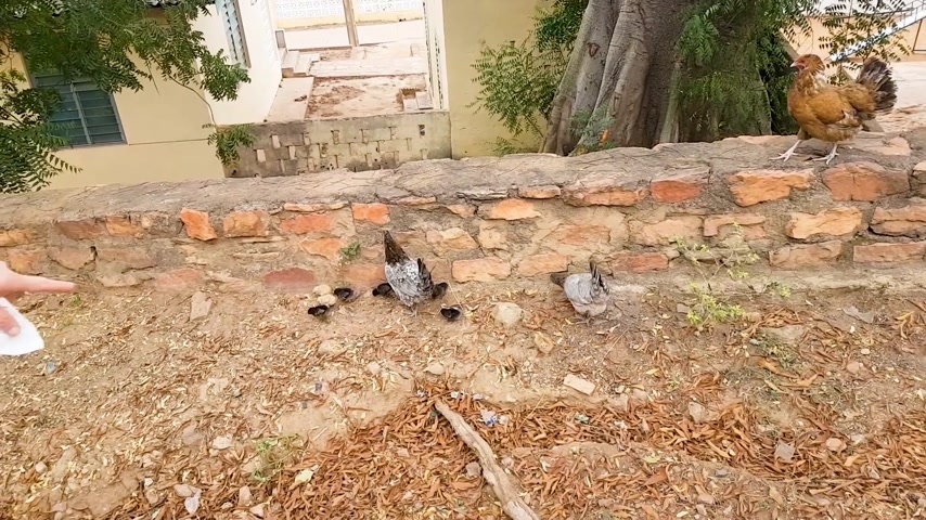 niger : Woman pointing to Chicken with little ones near poor house on red soil in Mali, Bamako Africa