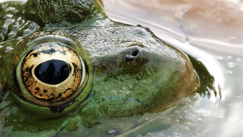 kurbağa : Frog with detailed close-up of the blinking eye in rainforest hiding in water - animal protection and environmental conservation