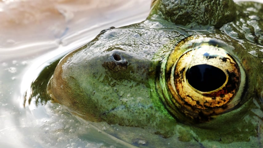 kétéltű : Macro view of frog with detailed close-up of the blinking eye in rainforest hiding in water - animal protection and environmental conservation Stock mozgókép