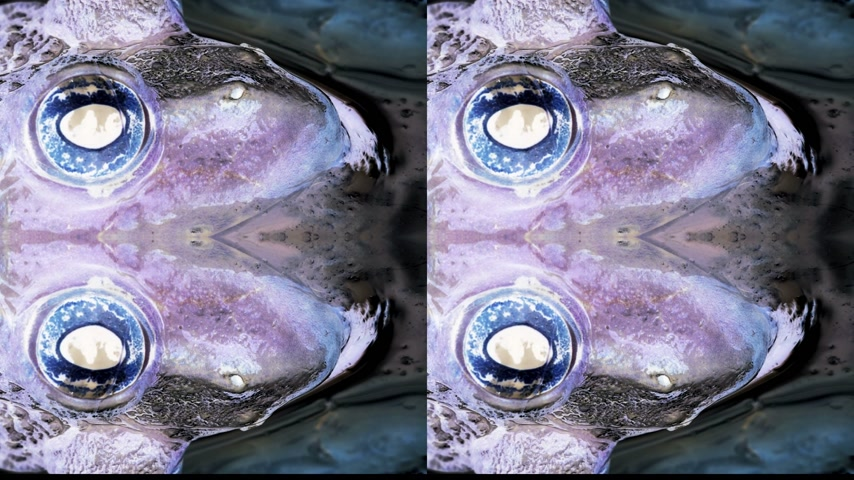 kurbağa : abstract scary frog eye with detailed close-up of the blinking eye in rainforest hiding in water - animal protection and environmental conservation Stok Video