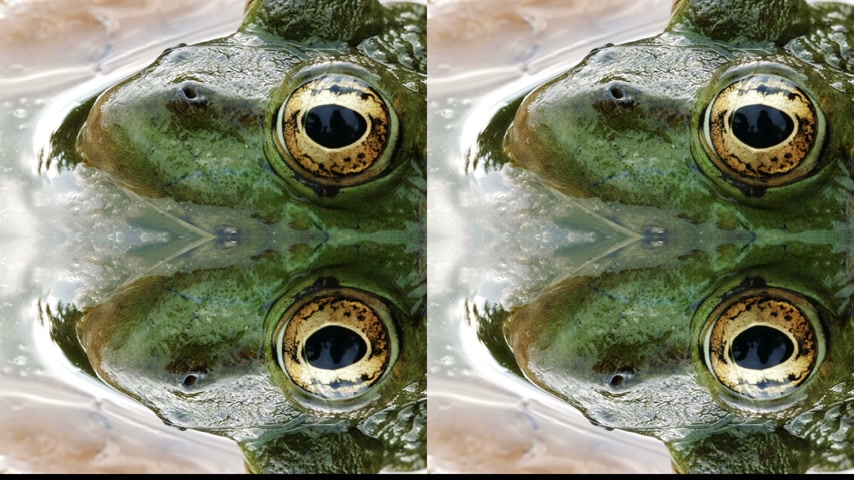 tree frog : Four cameras live streaming of same frog with detailed close-up of the blinking eye in rainforest -animal protection and environmental conservation