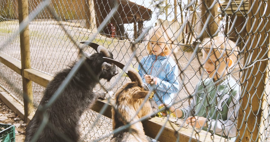 besleme : Mummelsee, Germany - Circa 2017: Childrens feeding goats at zoo at the Mummelsee lake Stok Video