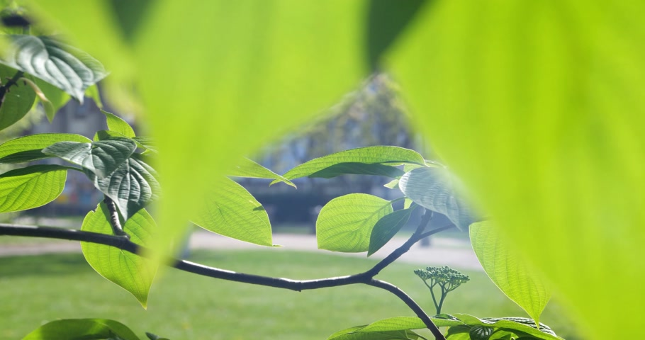 sigilo : Secrecy and following concept - green vivid spring tree leaves on a morning spring day - looking through leaves Stock Footage