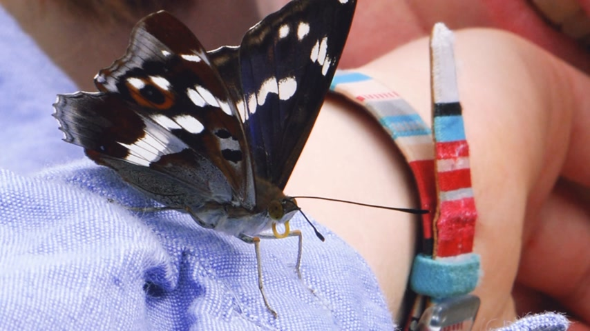 antennae : Woman girl hand holding a big curious butterfly Stock Footage
