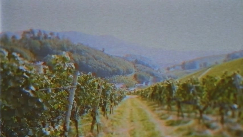 two rows : Owner POV personal perspective as he walks in the winery vineyards early int e morning in Germany - tilt-shift lens used vintage VHS effect applied Stock Footage