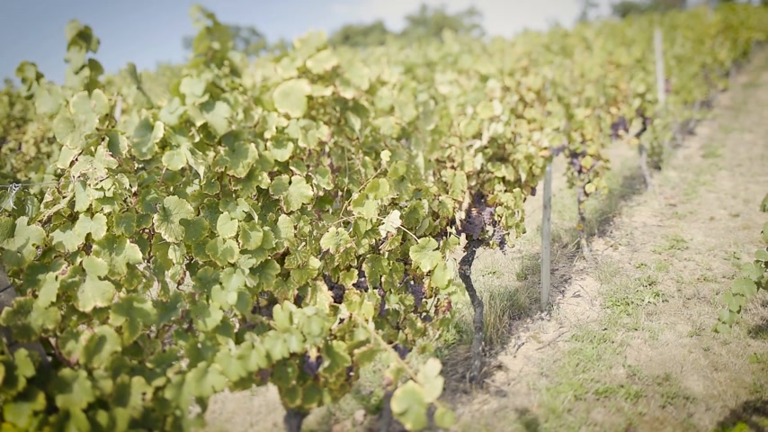 tilt shift : tilt-shift lens used over grape fields before harvesting the autumnal fresh vine in the vineyard in a row Stock Footage
