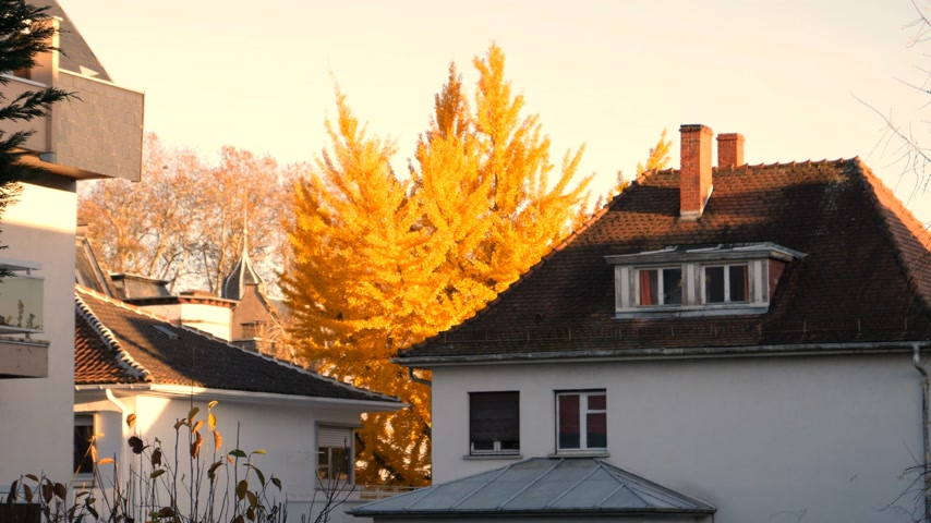 biloba : Beautiful ginkgo tree in fall with romantic house rooftop on a warm autumn day