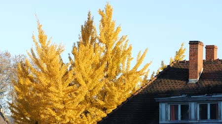 ginkgo leaf : Beautiful ginkgo tree in fall with romantic house rooftop on a warm autumn day