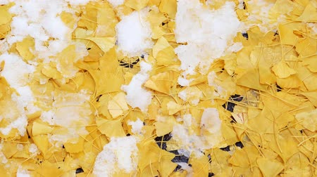 east asian food : Rotation over frozen ginkgo leaves in winter autumn park Stock Footage