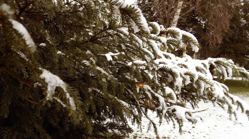 leegte : Slow-motion of fir tree branch covered with white snow in green forest in France