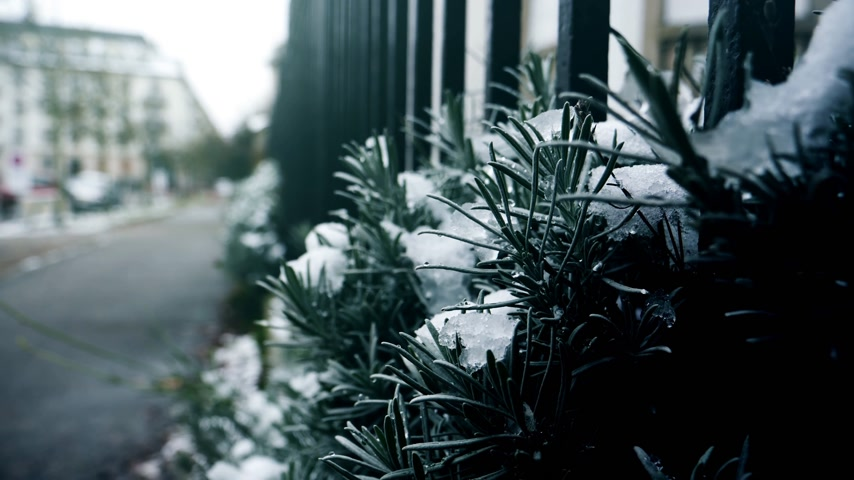işlemek : Covered with snow lavender plant in France, Paris on a cold winter day - perspective view to the empty street - green color cold cost