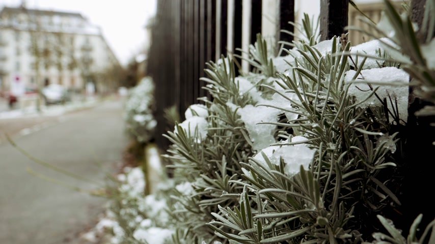 nem városi színhely : Covered with snow lavender plant in France, Paris on a cold winter day - perspective view to the empty street - green color cast