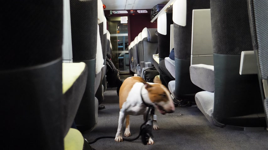trained : Shaking bull terrier dog in the wagon of a fast train trying to find his place near his master chair in the almost empty train wagon Stock Footage