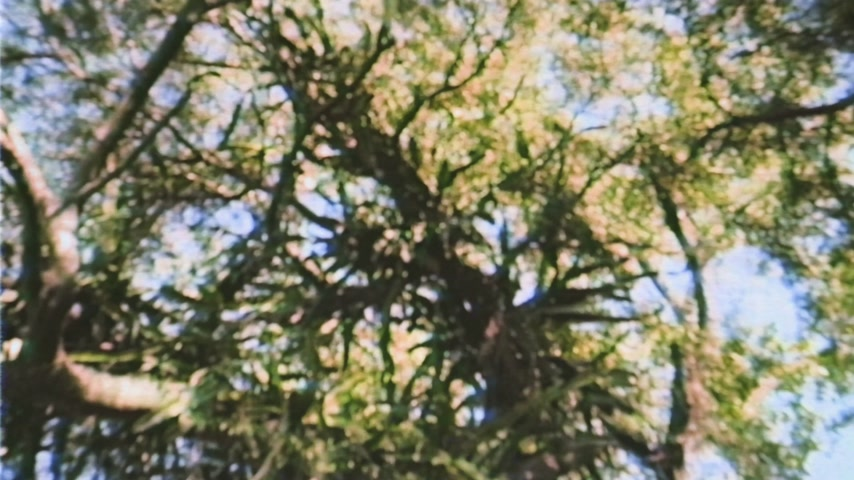 parasitic : Large canopy of an old tree view from below with wide lens over the slowly motion of leaves - tree infected with cactus parasitic plant handheld vhs footage