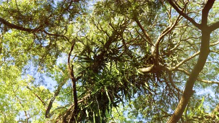 parasitic : Cinematc colorgraded zoom large canopy of an old tree view from below with wide lens over the slowly motion of leaves - tree infected with cactus parasitic plant