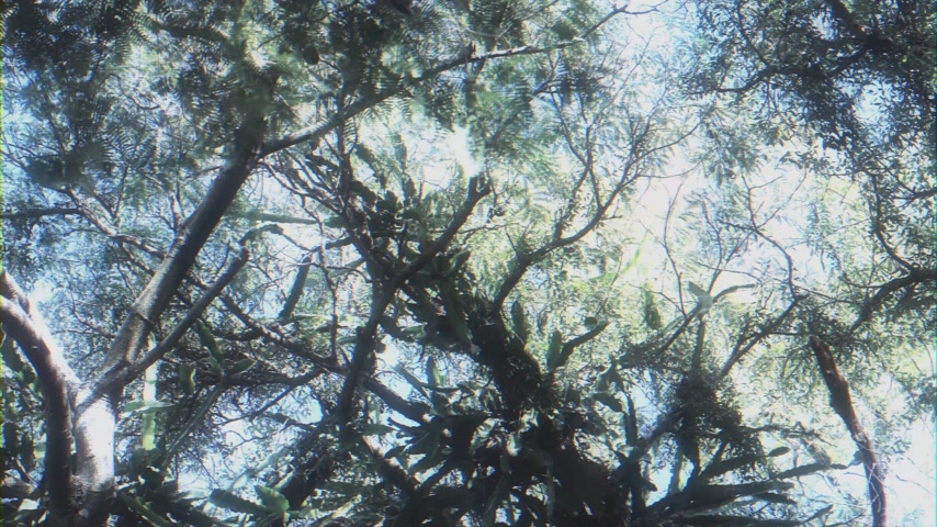 parasitic : Dreamlike effect over large canopy of an old tree view from below with wide lens over the slowly motion of leaves - tree infected with cactus parasitic plant