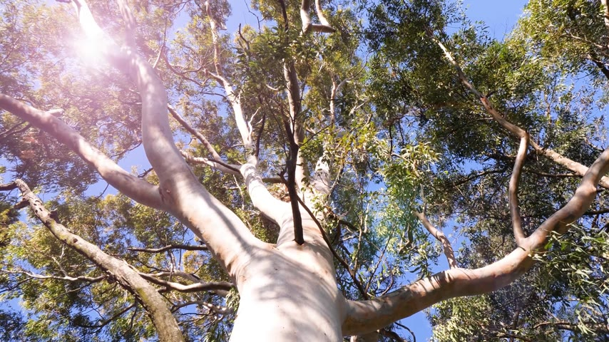 goma : View from below to the green large canopy of an eucalyptus tree - 4K UHD footage featuring nature preservation, enviromental sustainability and climate change sunlight flare Stock Footage