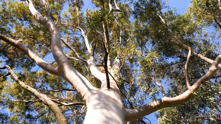 pień : Cinematic view from below to the green large canopy of an eucalyptus tree - 4K UHD footage featuring nature preservation, environmental sustainability and climate change
