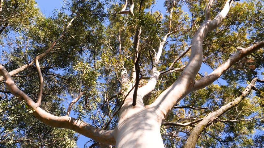 botanik : View from below to the green large canopy of an eucalyptus tree - 4K UHD footage featuring nature preservation, environmental sustainability and climate change slow wind moving leaves Stok Video