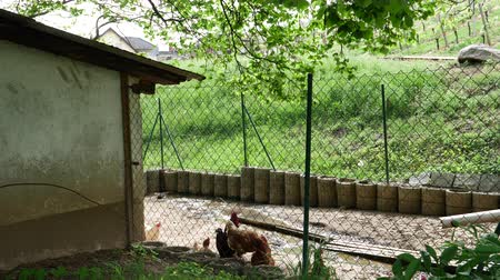 петух : Backyard with chicken and cocks in German village