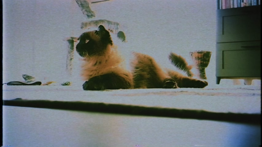 checkbook : VHS vintage film tape elegant Birman also called the Sacred Cat of Burma domestic cat breed being curious in carpet in the living room with cat tree in the background