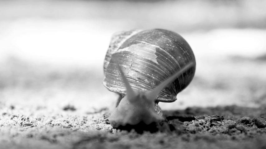 caracol : Front extreme macro closeup of Helix pomatia Roman snail known as Burgundy snail slow motion with multiple tentacles toward camera - black and white 4K UHD footage
