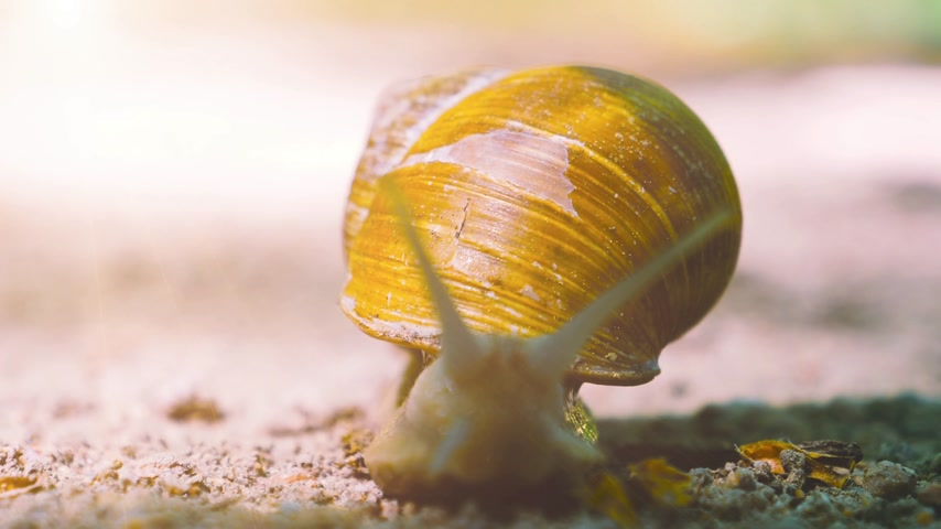 щупальце : Cinematic flare beam over Helix pomatia Roman snail known as Burgundy snail slow motion with multiple tentacles toward camera - it is an edible snail escargot mollusk from the family Helicidae