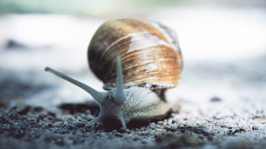 caracol : Forest flare over Helix pomatia Roman snail known as Burgundy snail slow motion with multiple tentacles toward camera escargot mollusk from the family Helicidae Stock Footage
