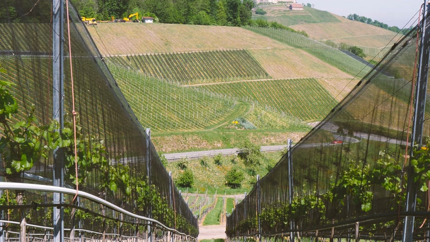 szőlőművelés : View through vine vineyard plantation in Durbach, Germany Baden Wurttemberg with two cars red and gray one on serpentine road