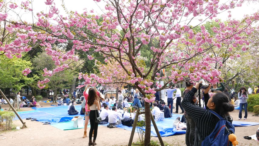 hayran olmak : People make pictures cherry blossoms trees, Ueno park, Tokyo