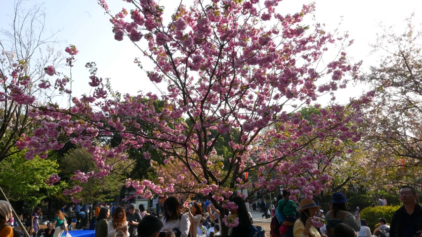 diváků : Japanese walking and sitting around blooming cherry trees, Tokyo