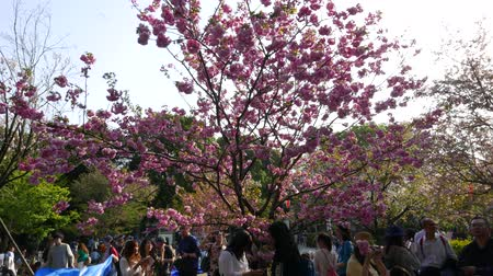 diváků : People enjoy Cherry Blossom Festival under blooming trees