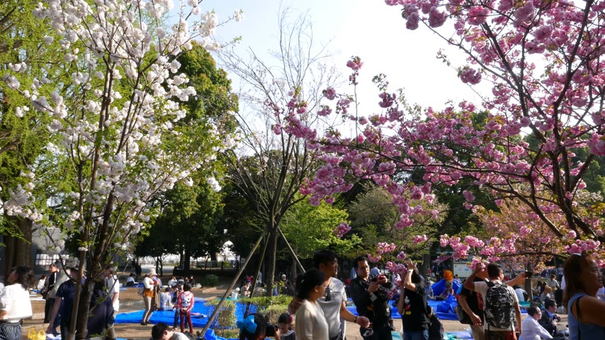 japonská kultura : People sitting under cherry trees, Tokyo