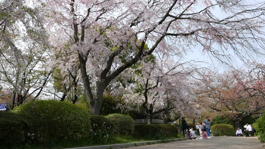 diváků : Beautiful blooming white cherry trees at park, Tokyo, Japan