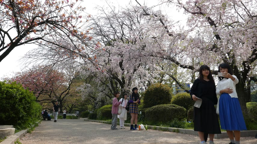 Asian Tourists take pictures and make selfie of blooming cherry trees, Tokyo, Japan Stok Video